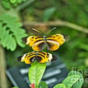 Gentle Butterfly Courtship 02 Art Print