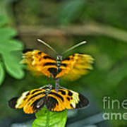 Gentle Butterfly Courtship 03 Art Print