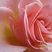 Gentle Pink Rose Art Print