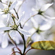 Gentle White Spring Flowers Art Print