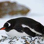 Gentoo Penguin On Nest Art Print