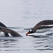 Gentoo Penguins Porpoising Paradise Bay Art Print