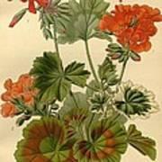 Geraniums Art Print by Philip Ralley