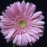 Gerber Daisy Flower Art Print