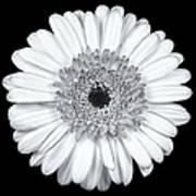Gerbera Daisy Monochrome Art Print