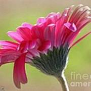 Gerbera Daisy Named Raspberry Picobello Art Print