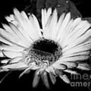 Gerbera In Black And White Art Print