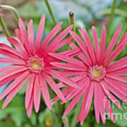Gerbera Jamesonii / Pink Daisy Flowers Art Print