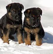 German Shepherd Pups Art Print by Aimee L Maher Photography and Art Visit ALMGallerydotcom