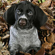 German Wire-haired Pointer Puppy Art Print