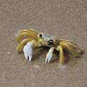 Ghost Crab Art Print