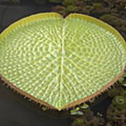 Giant Amazonian Water Lily Pads Closeup Art Print