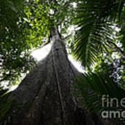 Giant Cashew Tree Amazon Rainforest Brazil Art Print
