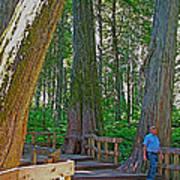 Giant Cedar Grove On Giant Cedars Trail In Mount Revelstoke Np-bc Art Print
