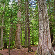 Giant Cedars On Trail Of The Cedars In Glacier Np-mt Art Print