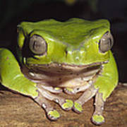 Giant Monkey Frog  Venezuela Art Print