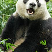 Giant Panda, Chengdu, China Art Print