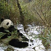 Giant Panda Eating Bamboo Wolong China Art Print
