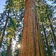 Giant Sequoia Trees Of Tuolumne Grove In Yosemite National Park. Art Print