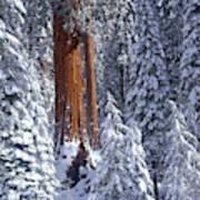 Giant Sequoia Trees Sequoiadendron Art Print