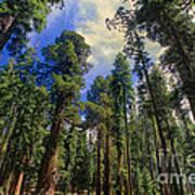 giant sequoias sequoiadendron gigantium yosemite NP Art Print