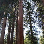 Giant Sequoias - Yosemite Park Art Print