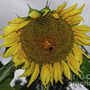 Giant Sunflower Art Print