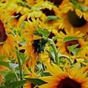 Giant Sunflowers Art Print
