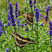 Giant Swallowtail Butterfly Couple Art Print