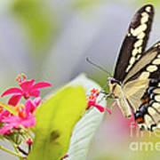 Giant Swallowtail II Art Print