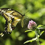 Giant Swallowtail On Clover 2 Art Print
