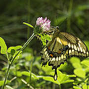 Giant Swallowtail On Clover 3 Art Print