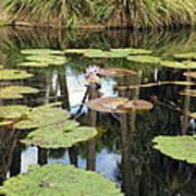 Giant Water Lilies Art Print
