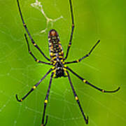 Giant Wood Orb Spider Art Print by Robert Jensen