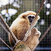 Gibbon On A Swing Art Print