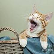 Ginger Kitten Yawning Art Print