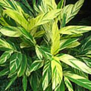 Ginger Lily. Alpinia Zerumbet Art Print