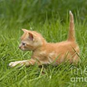 Ginger Tabby Kitten Art Print
