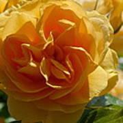 Ginny's Rose In The Sun Art Print