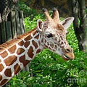 Giraffe-09034 Art Print