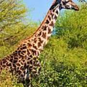Giraffe Among Trees. Safari In Serengeti. Tanzania Art Print