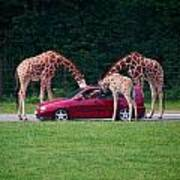 Giraffe. Animal Studies Art Print
