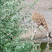 Giraffe Drinking Art Print