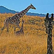 Giraffe Family In Living Desert Museum In Palm Desert-california Art Print