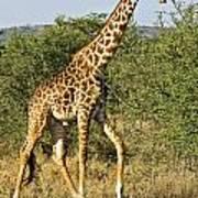 Giraffe From Tanzania Art Print