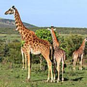 Giraffe Group On The Masai Mara Art Print