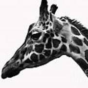 Giraffe Head Shot Art Print