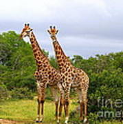Giraffe Males Before The Storm Art Print
