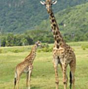 Giraffe Mother And Calftanzania Art Print