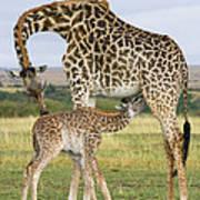 Giraffe Nuzzling Her Nursing Calf Art Print